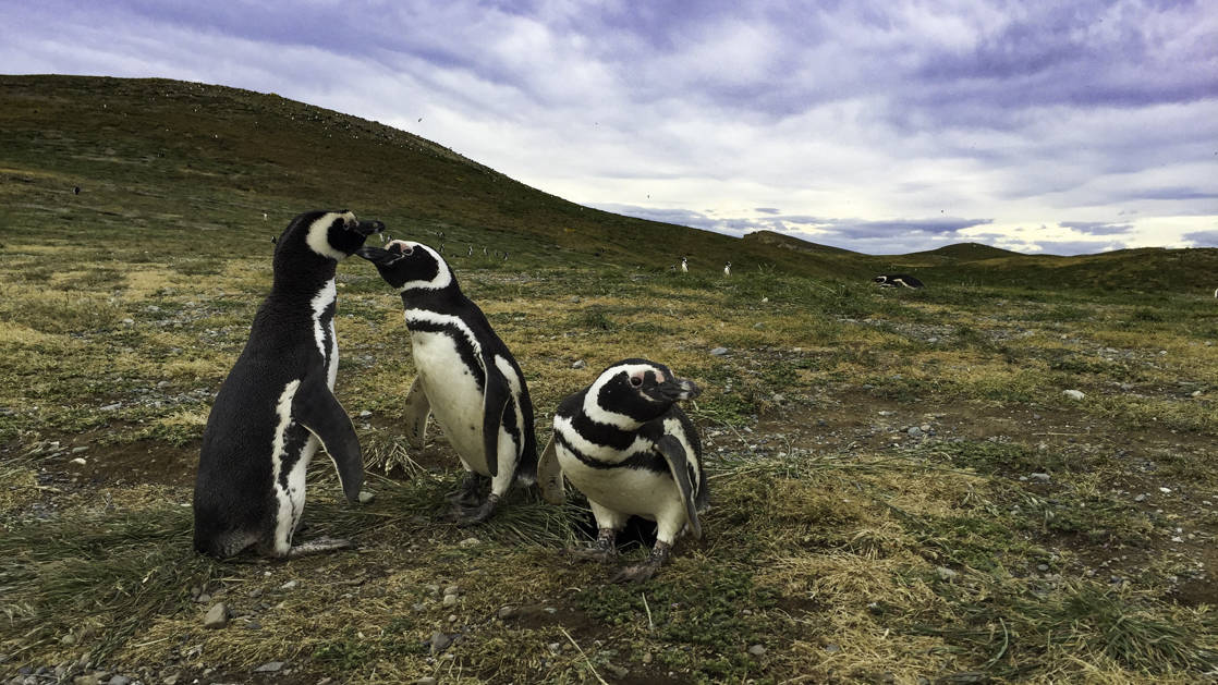Three magellaic penguins on the grass in Patagonia