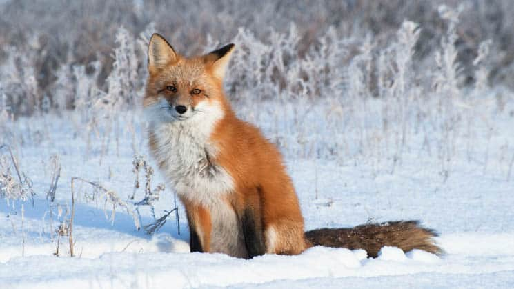 A red arctic fox siting on the snow looking at the camera.