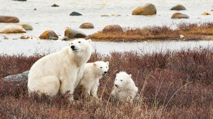 Mama polar bear and cubs in red grass alongside the water.