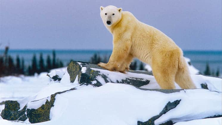 A polar bear perching on a rock with purple skies and snowy ground in Churchill, Canada.