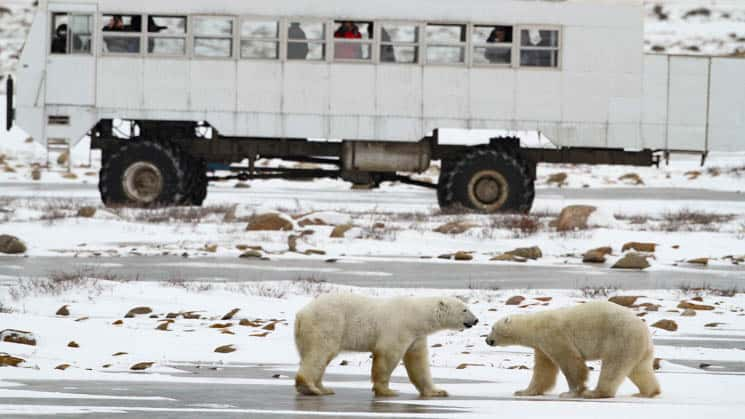 Two polar bears greeting each other outside the polar rover vehicle.