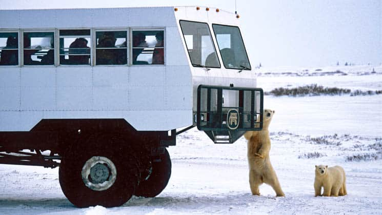 Polar rover vehicle with polar bears touching the bumper.