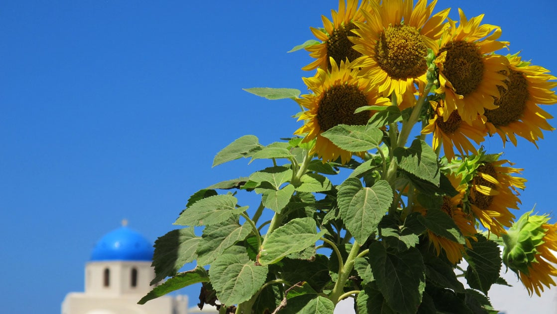 A bunch of growing sunflowers stand in a sunny day in front of a blue-topped building in Santorini, Greece.