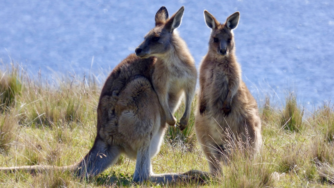 Two large kangaroo standing in the grassy field with the ocean in the distance on Maria Island off the coast of Tasmania.