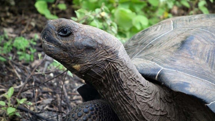 galapagos tortoise with its head out to the side with green foliage behind it