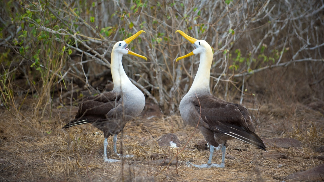 Two albatrosses, with long bright yellow beaks, performing their mating ritual on Espanola island in the Galapagos.