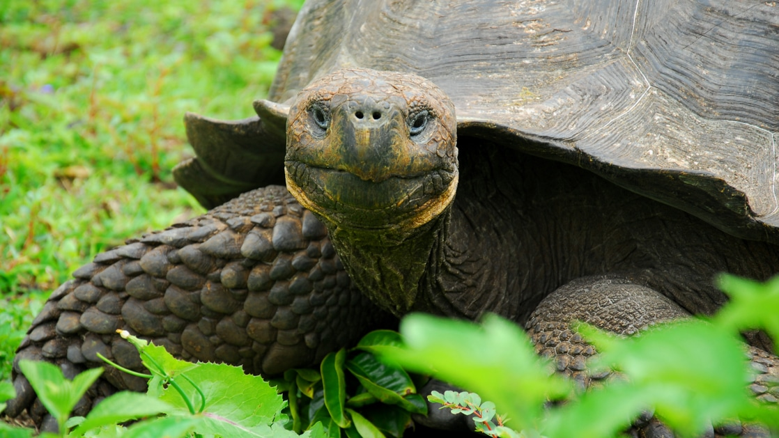 Galapagos tortoise seen on a land excursion from a small ship.