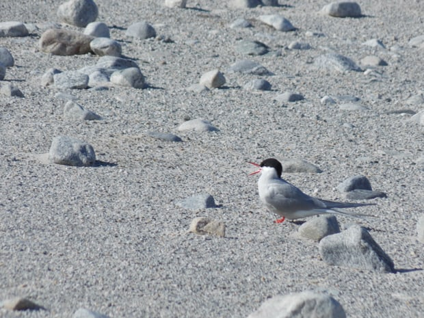 Arctic tern bird on rocks seen from a small ship excursion in the Arctic.