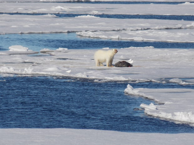 Polar next to a dead seal on floating ice seen from a small ship in the Arctic.