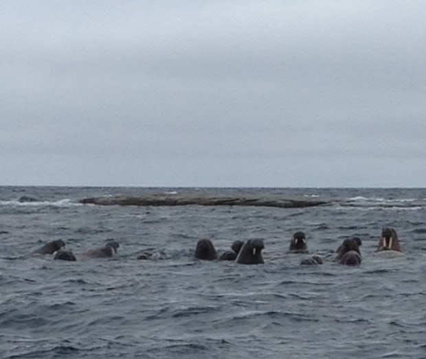 Group of Walrus in the water seen from a small ship in the Arctic.