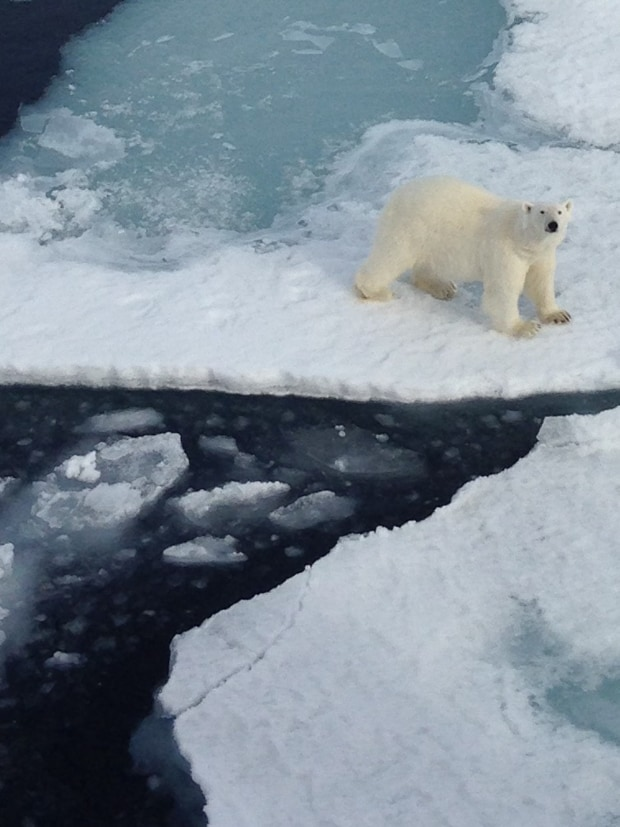 Polar bear on floating ice in the Arctic looking up at the small ship cruise guests.