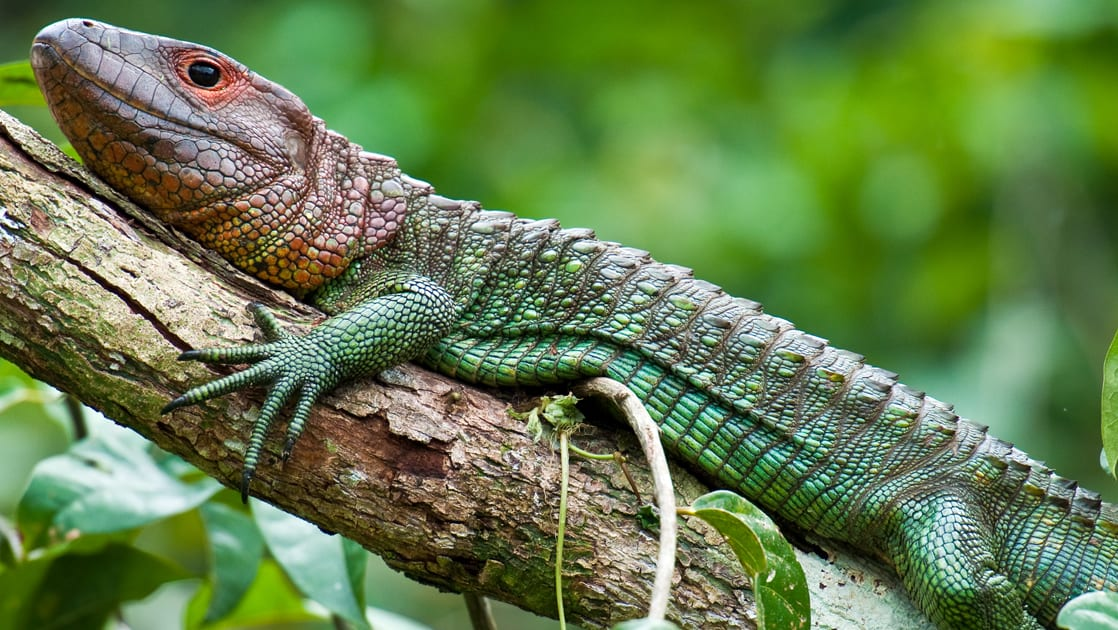 green lizard with a brown head laying on a branch on the side of the river on the delfin amazon river cruise