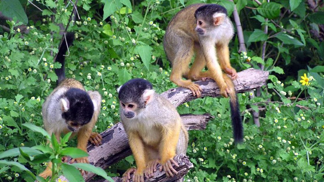 group of brown monkeys standing on a branch with green foliage behind them on the delfin amazon river cruise