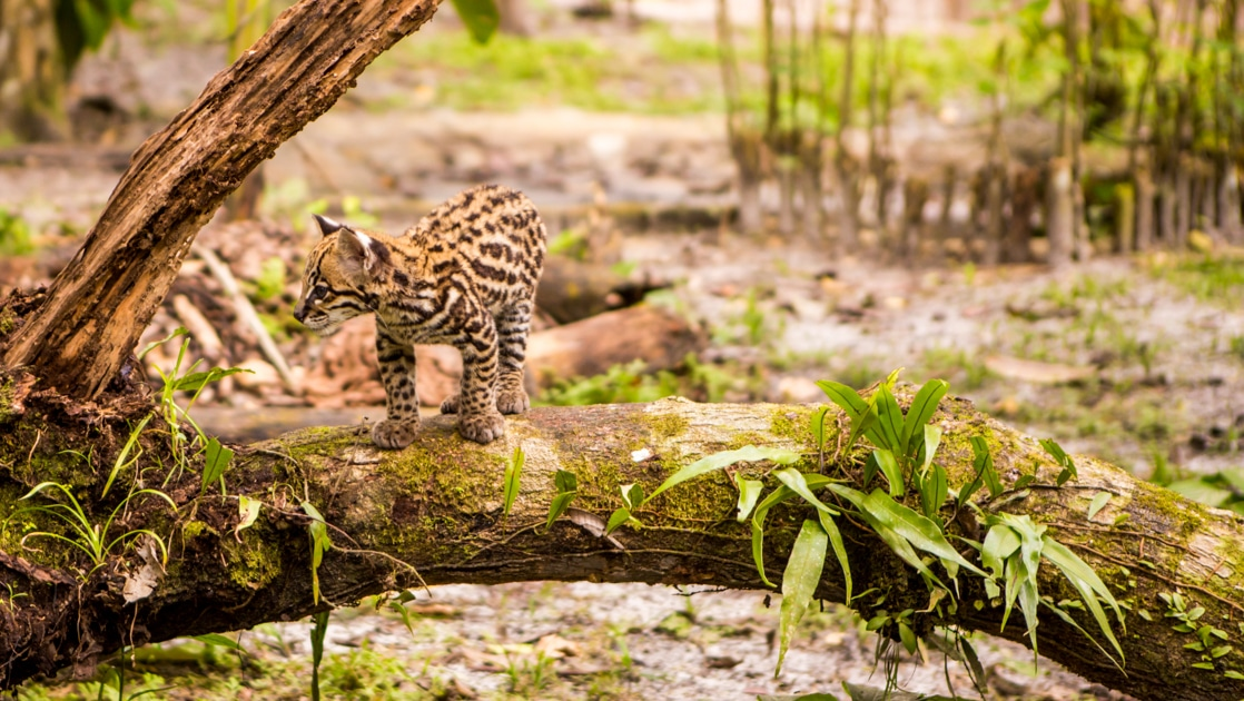 Baby ocelot stands atop a fallen tree in the rainforest on a sunny day, seen during the Delfin II Amazon River Cruise.