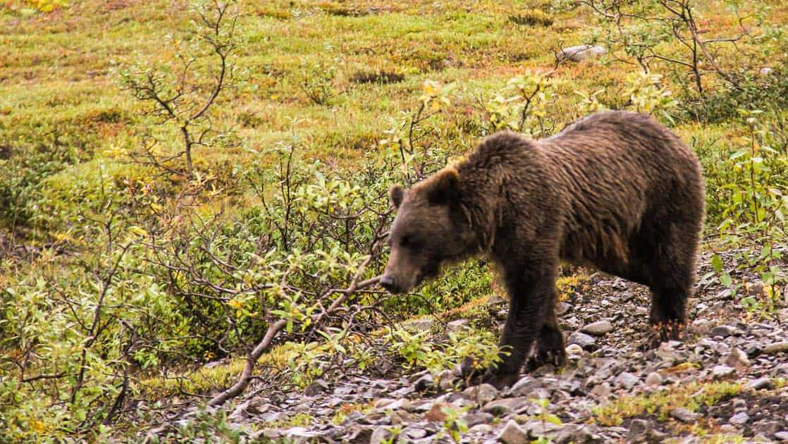 Brown grizzly bear walking in a field of dry brush in Denali National Park.