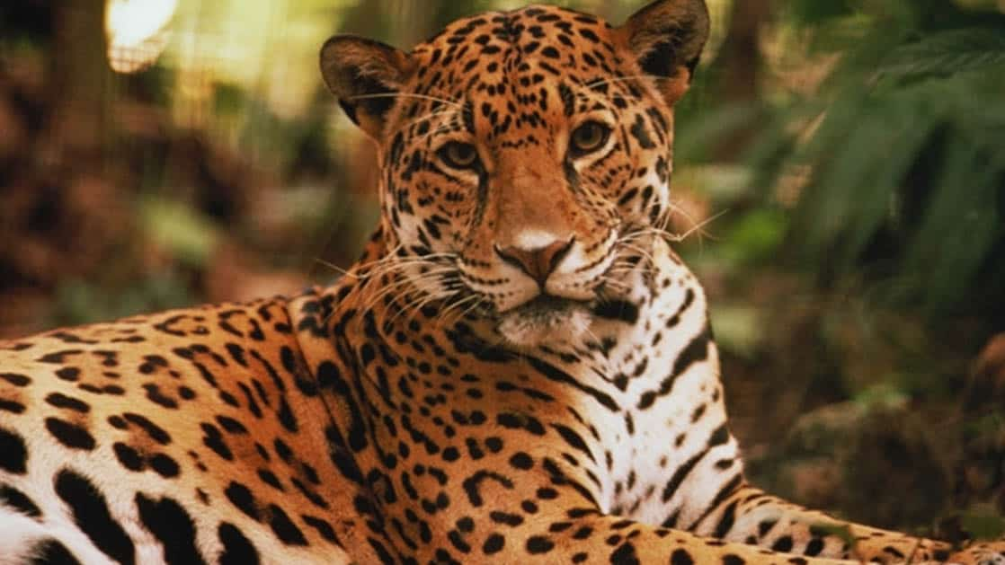 amazon jaguar sitting peacefully looking at the camera at napo wildlife center