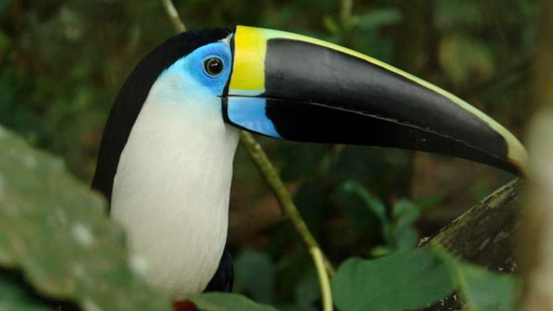 blue yellow and black toucan perched in the amazon rainforest