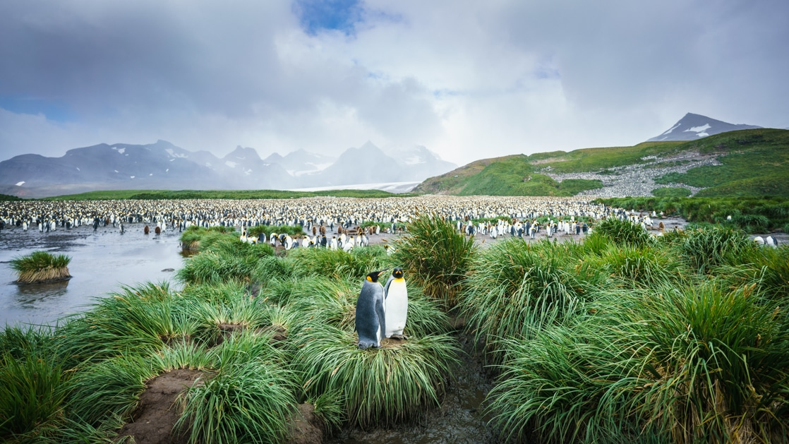 2 tall king penguins sit together atop a tussock of bright green grass near calm water on a cloudy day in Antarctica.