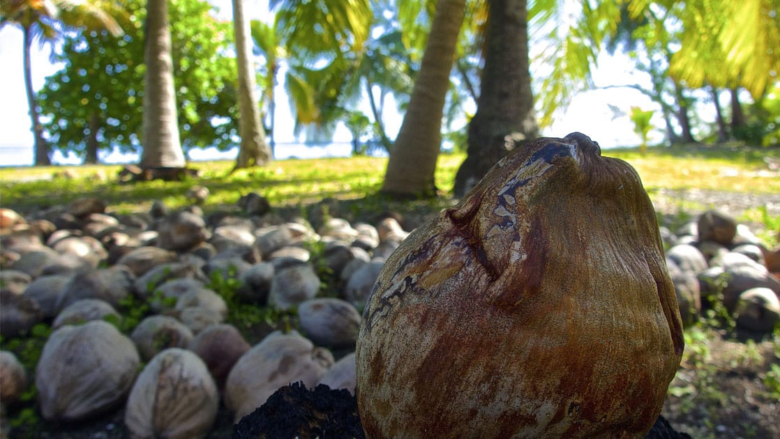 coconut on the ground with other coconuts behind it, and palm trees beyond all of them in the pacific islands