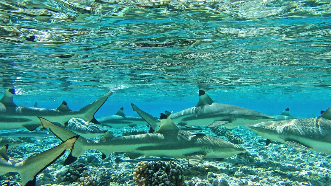 group of reef sharks swimming in clear shallow water above the reef in the pacific islands