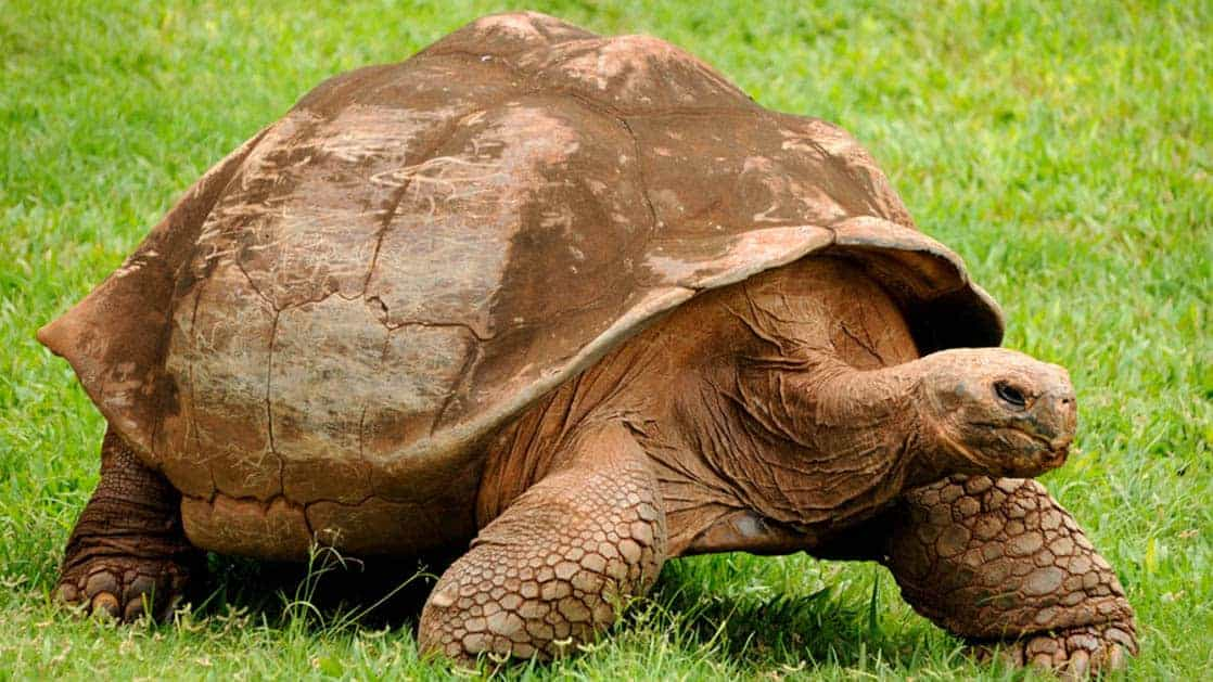 A giant turtle lumbers across green grass at the Galapagos island and sticks his head out to reveal his dark, small eyes