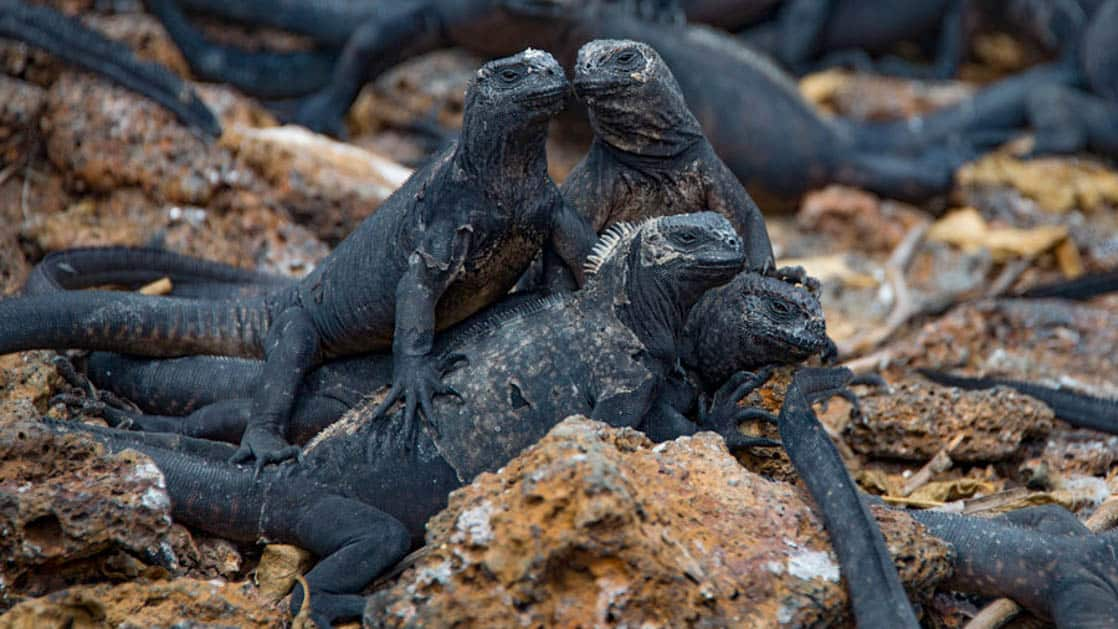 A group of marine iguanas huddle in the rocks at the Galapagos Islands