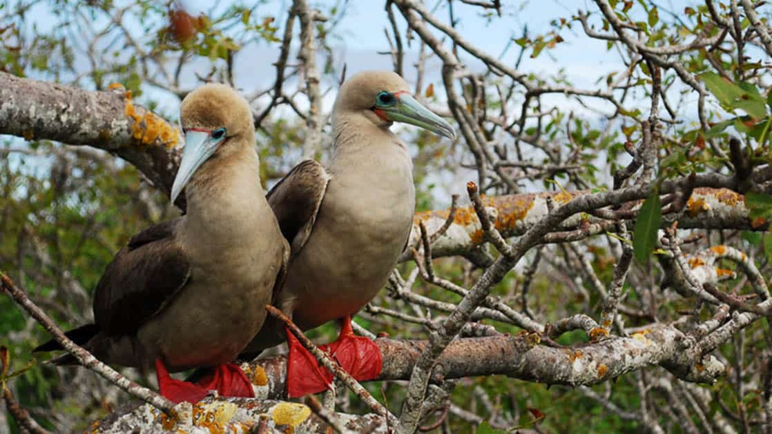 Two red-footed boobies perched on a tree branch in the Galapagos islands.