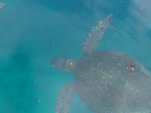Sea turtle swimming underwater in the Galapagos.