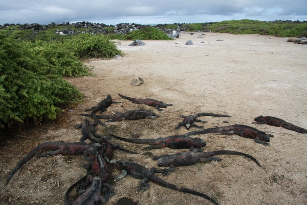 A group of Galapagos marine iguanas resting in the sand on shore.