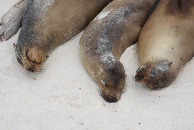 Galapagos sea lions sun bathing in the sand.