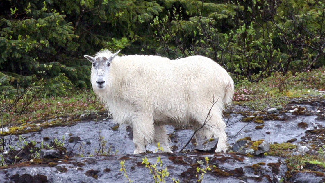 large Mountain goat standing in a shallow river in south east alaska