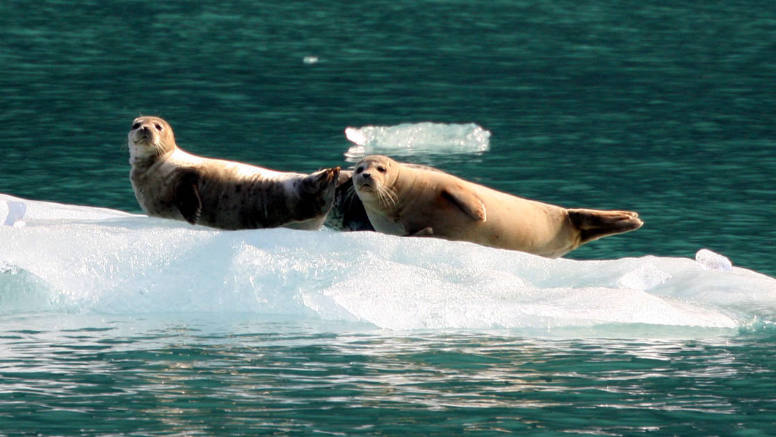 three seals laying on top of a floating iceberg in the green glacial waters of alaska