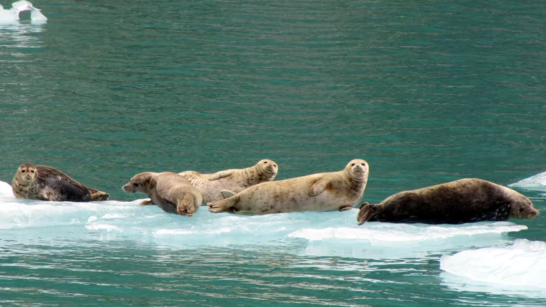 group of harbor seals rest on icebergs in green alaska water
