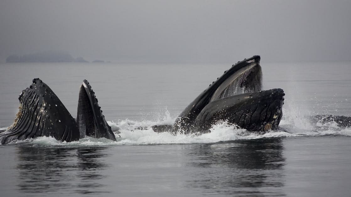 pod of humpback whales bubblenet feed on a calm cloudy day in alaska