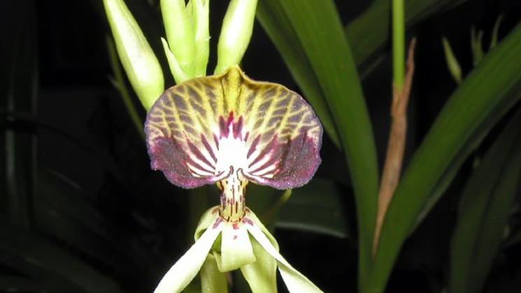A yellow and pink orchid in Guatemala.