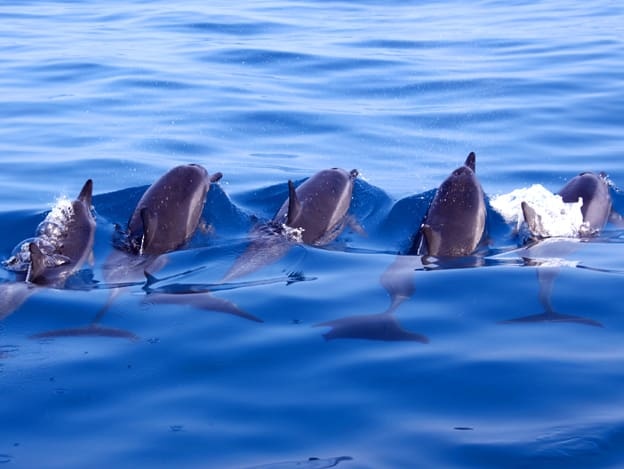 Pod of dolphins swimming in bright blue water seen from a small ship cruise in Alaska.