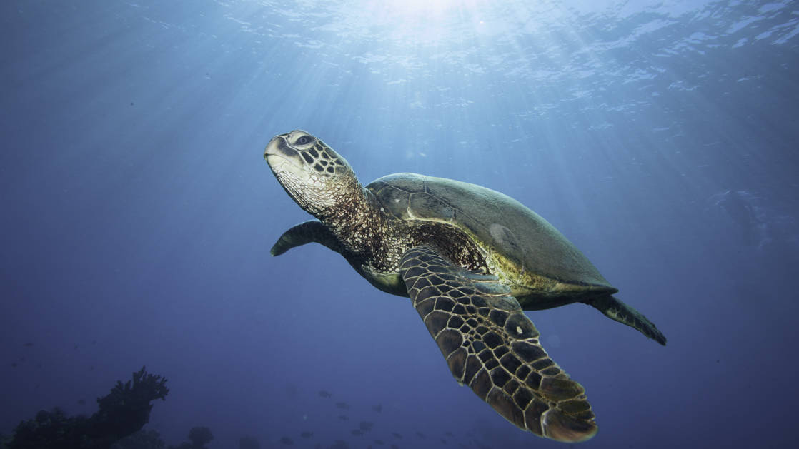 hawaiian green sea turtle swims just below the surface of the water, with the sun's rays shining down on it