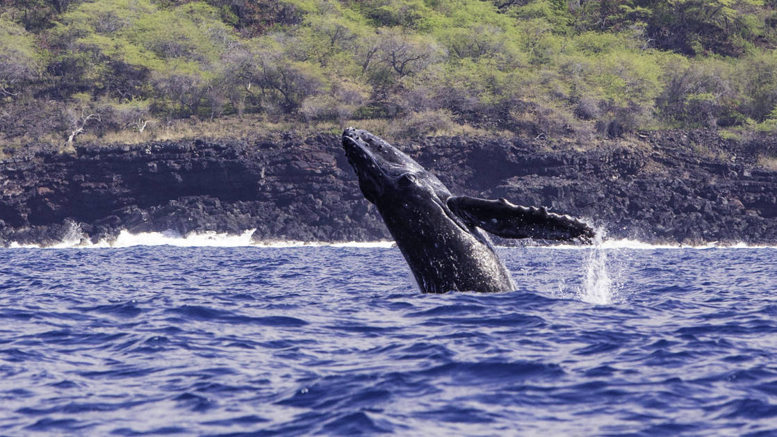humpback whale breaching with rocks and trees behind it on a sunny day during the hawaiian seascapes small ship cruise