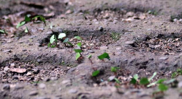 Leaf cutter ants walking in a parade carry small bits of leaves on the top of their bodies.