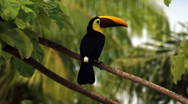 Toucan perched on a branch in Costa Rica.