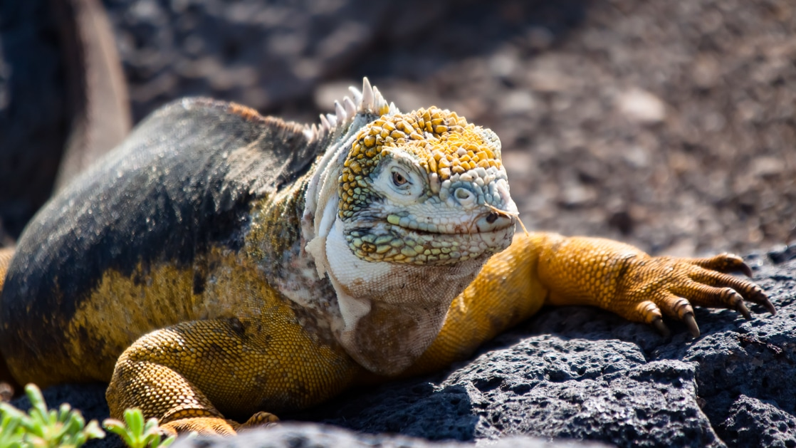 An up close wildlife portrait of the yellow land iguana in the Galapagos Islands