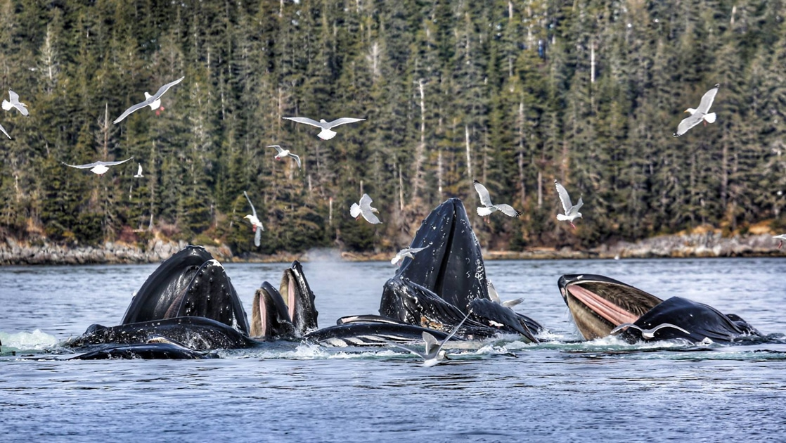 Seen on the Inside Passage Sojourn cruise a pod of humpback whales feed at the surface of the water as sea gulls fly around them.