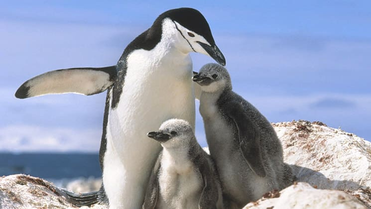 adult chinstrap penguin with two young chicks stands with its wings out on a sunny day in antarctica