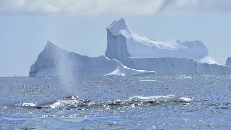 a group of whales swims in antarctia on a sunny day with a large iceberg behind them