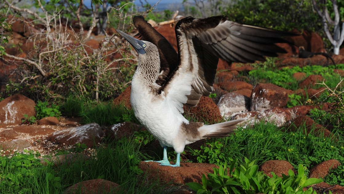 In the Galapagos, surrounded by green grass, a blue footed booby bird stands on red lava rock and stretches it's wings.