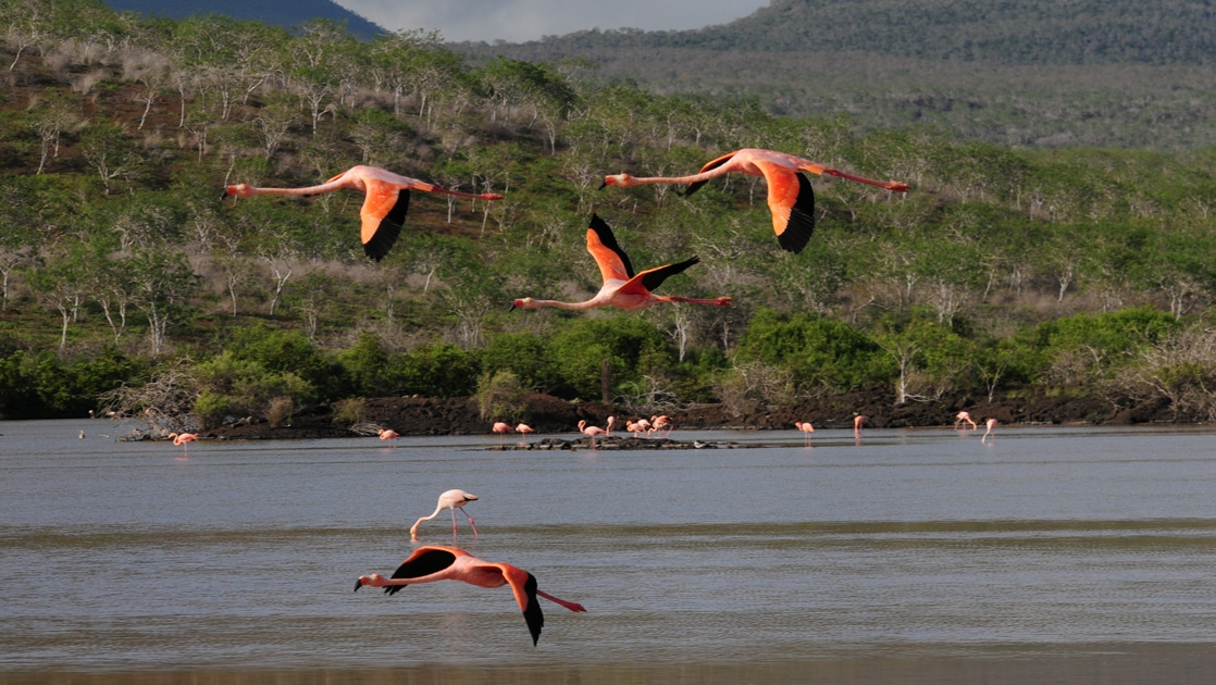 Four pink and black Galapagos flamingoes fly above a body of water in front of a lush Galapagos island hillside.