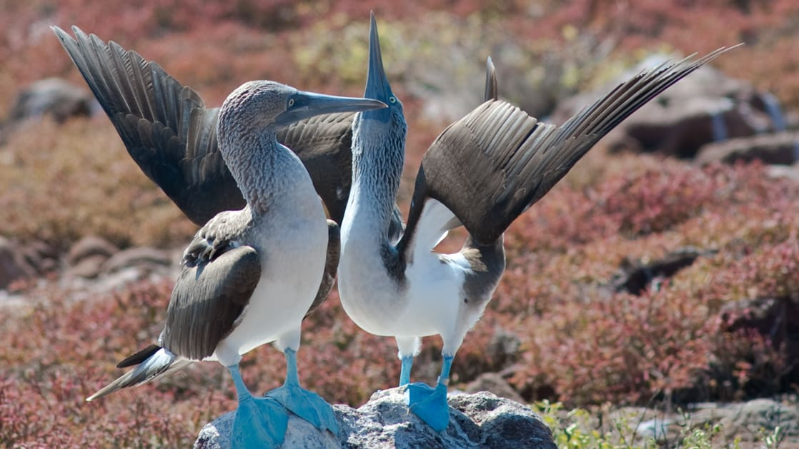 two blue-footed boobies perched on a rock flap their wings to take flight at the galapagos islands