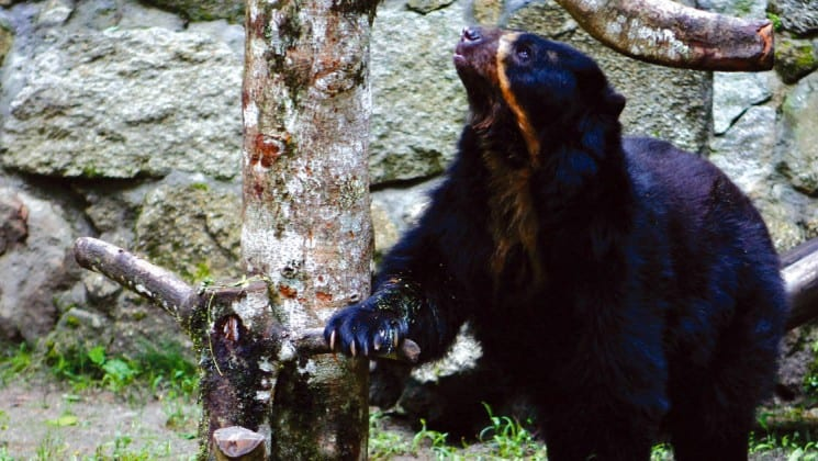 bear looking for food in tree in peru seen on machu picchu explorer land tour