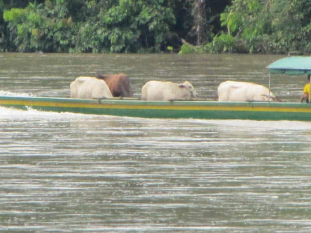 a small herd of cattle in a canoe riding along the river in the Amazon.