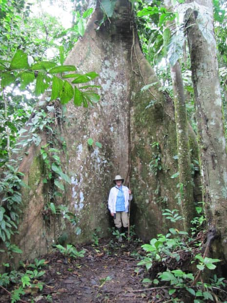 Large rooted tree with a traveler standing in the middle while on a hike through the Amazon.